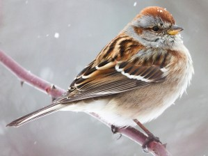 American Tree Sparrow - Photo by Fyn Kynd