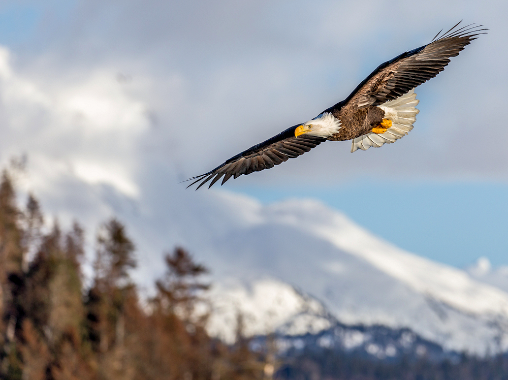 Alaskan Bald Eagle - Photo by Andy Morffew