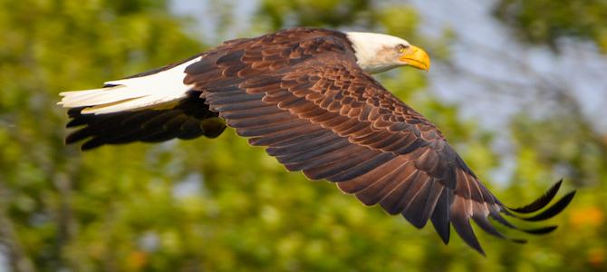 Bald Eagle - Photo by Jen Goellnitz