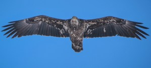 Juvenile Bald Eagle - Photo by Jen Goellnitz