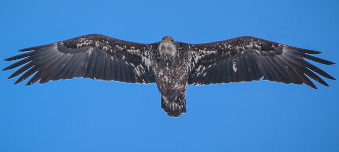 Juvenile Bald Eagle - Photo by Jen Goellnitz