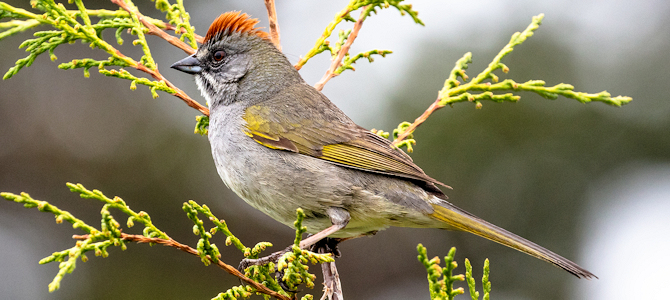 Green-Tailed Towhee - Photo by NPS / Jacob W. Frank