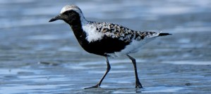 Black-Bellied Plover - Breeding Plumage - Photo by marneejill