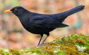 Colorful Blackbird - Photo by Le poidesans