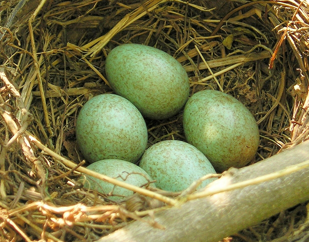Eurasian Blackbird Nest - Photo by Maja Dumat