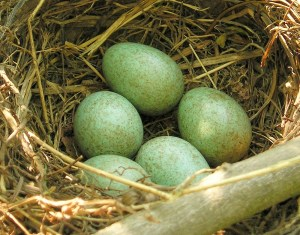 Eurasian Blackbird Nest - Photo by Maja Dumat