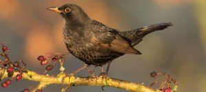 Eurasian Blackbird in Autumn - Photo by Antje Schultner