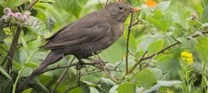Female Eurasian Blackbird - Photo by hedera.baltica