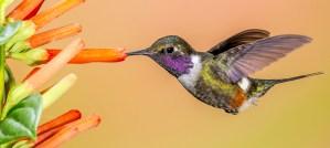 Purple-Throated Woodstar - Photo by Andy Morffew