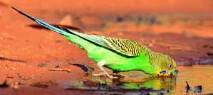 Budgerigar Drinking - Photo by Laurie Boyle