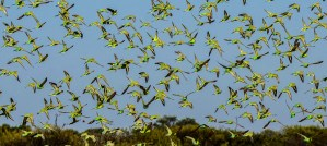 Flock of Wild Budgies - Photo by Pete Richman
