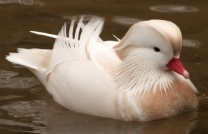 Leucistic Mandarin Duck - Photo by Sander van der Wel