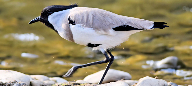 River Lapwing - Photo by shrikant rao