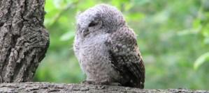 Eastern Screech-Owl Owlet - Photo by Matt Tillett