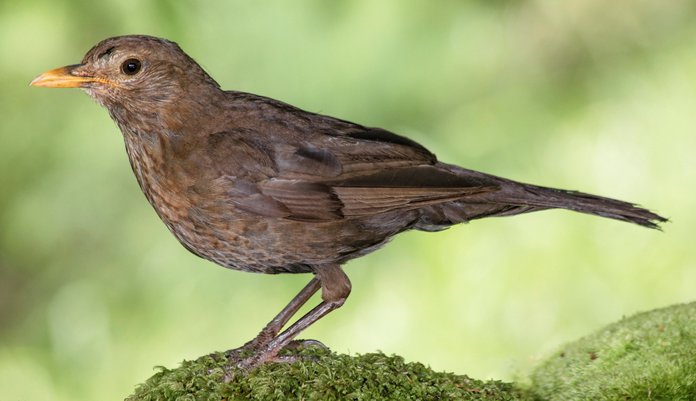 Young Eurasian Blackbird - Photo by Jose Ramon Erezuma