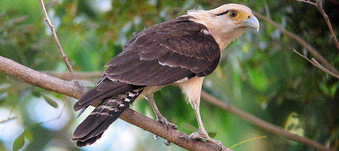 Yellow-Headed Caracara - Photo by Félix Uribe