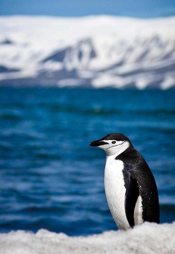 Chinstrap Penguin - Photo by ravas51