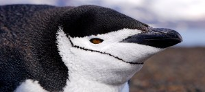 Chinstrap Penguin Profile - Photo by Christopher Michel