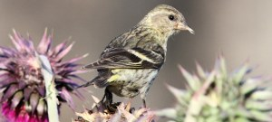Pine Siskin in the Flowers - Photo by Aaron Michael