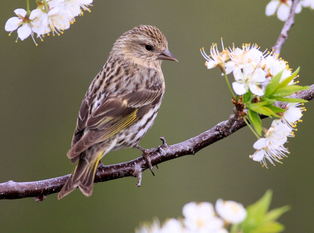 Springtime Pine Siskin - Photo by dfaulder