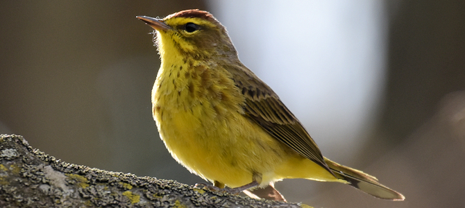 Yellow Palm Warbler - Photo by Laura Wolf