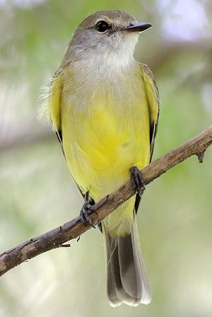 Lemon-Bellied Flyrobin - Photo by Graham Winterflood