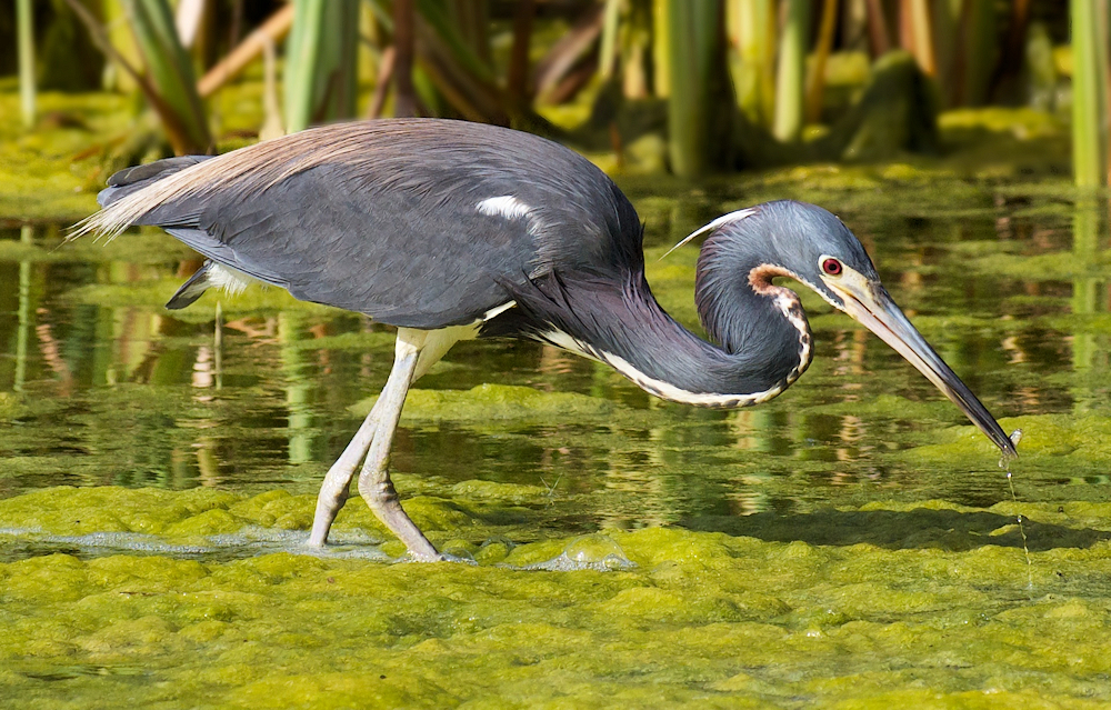 Tricolored Heron at the Pond - Photo by James Batt