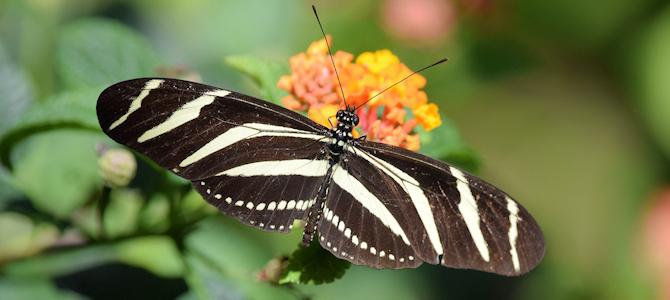 Zebra Longwing - Photo by Andy Reago & Chrissy McClarren