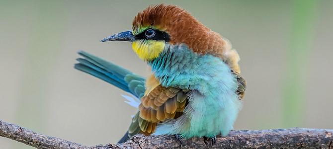 European Bee-Eater - Photo by Fondazione Enpam
