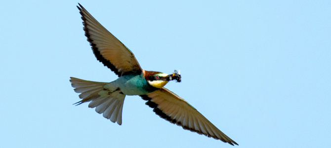 European Bee-Eater in Flight - Photo by yves hoebeke