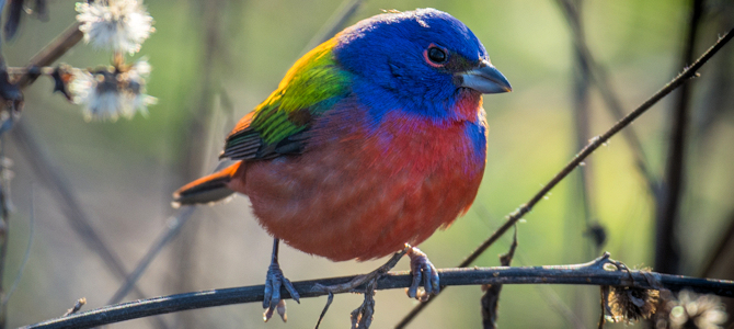 Prospect Park Painted Bunting - Photo by Andrew Cannizzaro