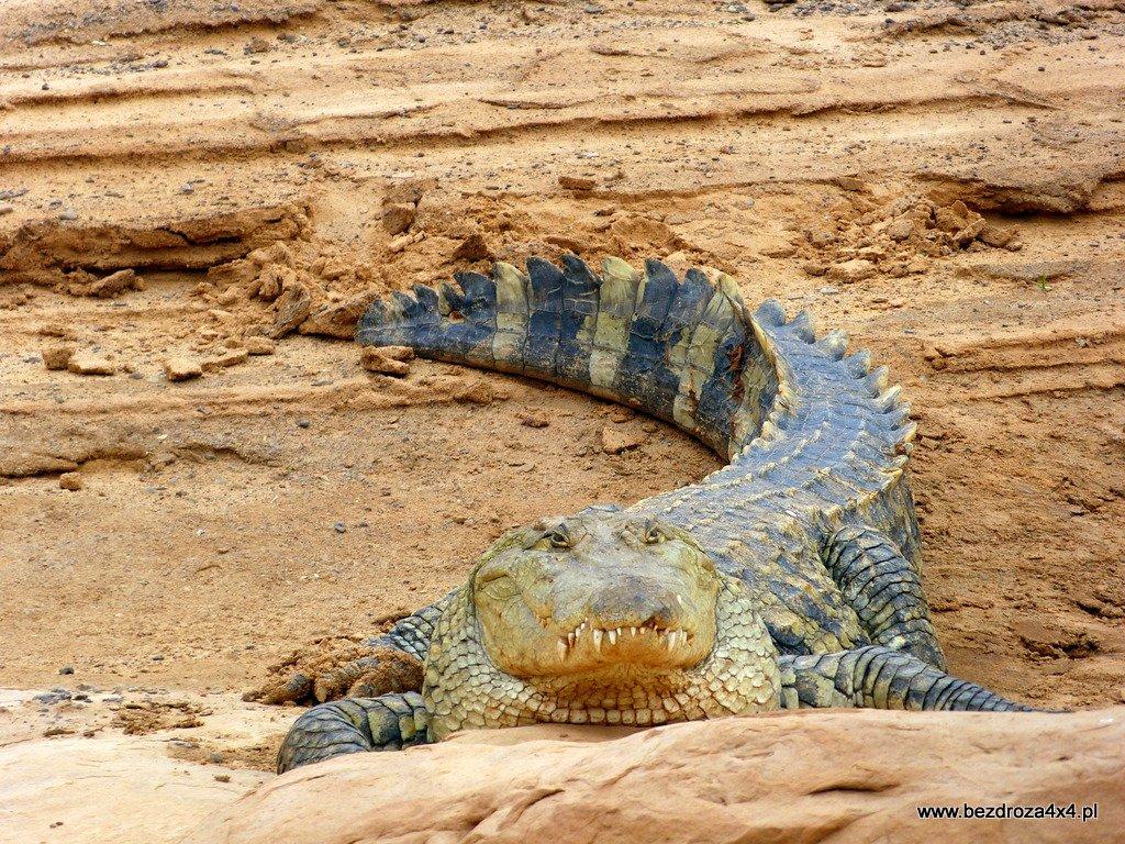 Krokodyl w Mauretanii