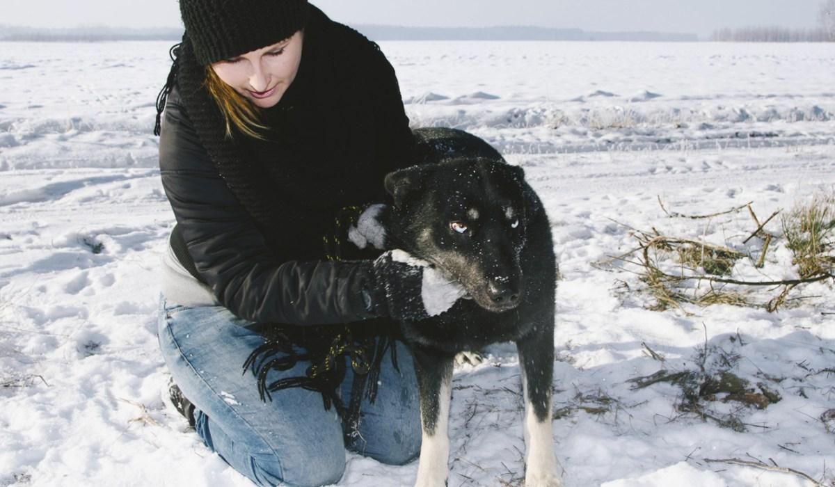Pies to nie prezent - Husky