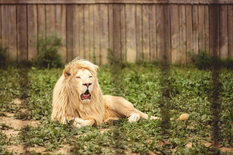 zoo wojciechów lew biały