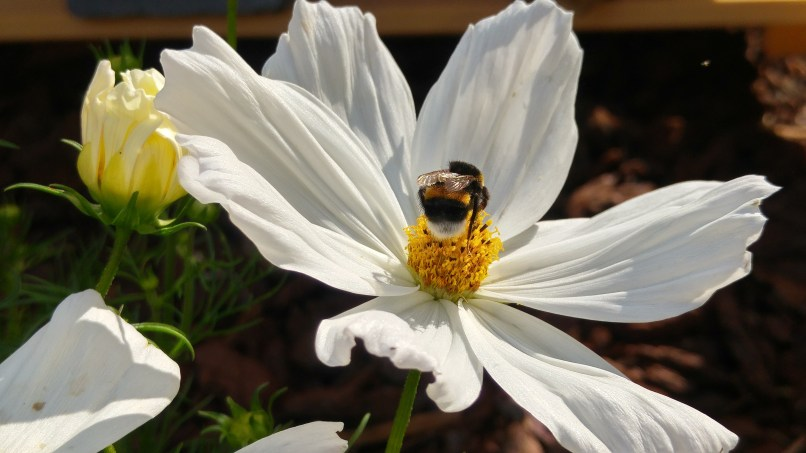 Cosmos and a bumblebee