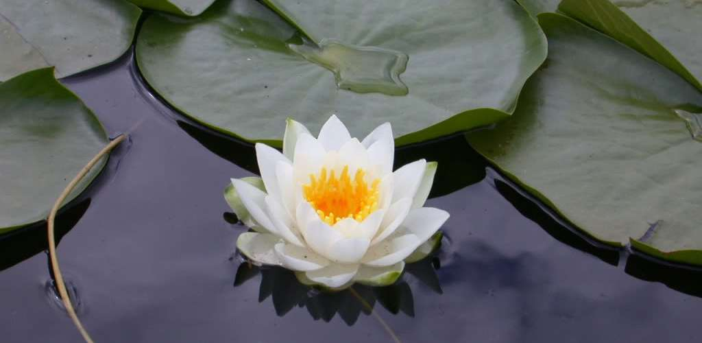 Lotus_-_flower Embrace