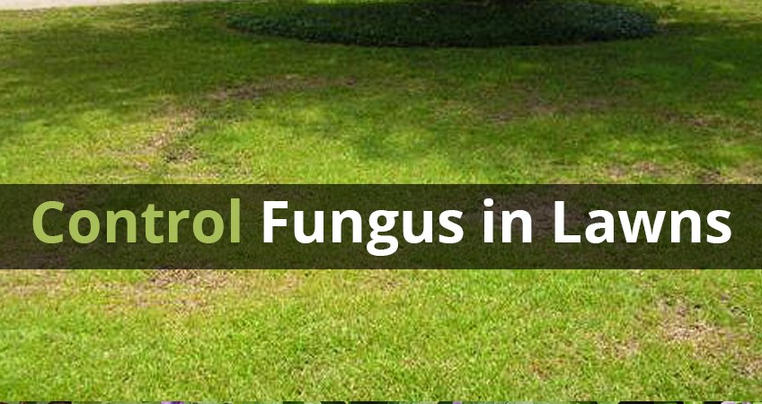 controlling lawn fungal diseases