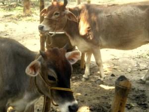 Belas vacas em Godrumadvipa