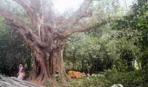 A grande ávore de figueira situada no asrama de Jahnu Muni, na bela Jahnudvipa