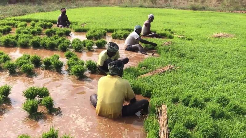 धान की फसलों को रोगों से बचाना बेहद जरूरी