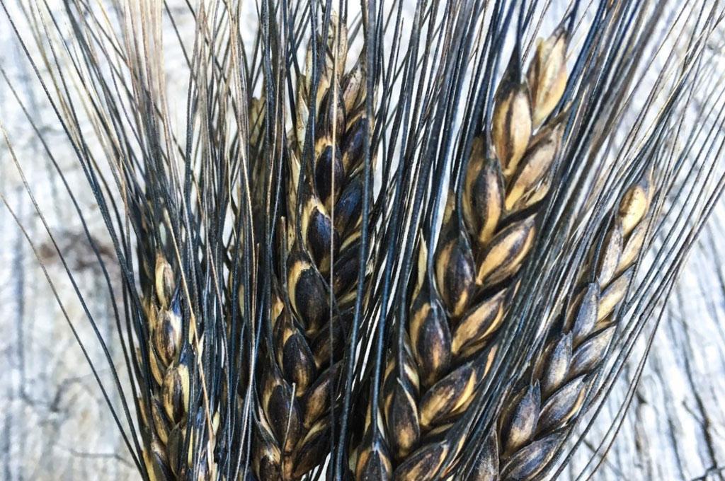 black Wheat