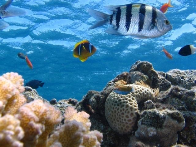 ikan, terumbu karang