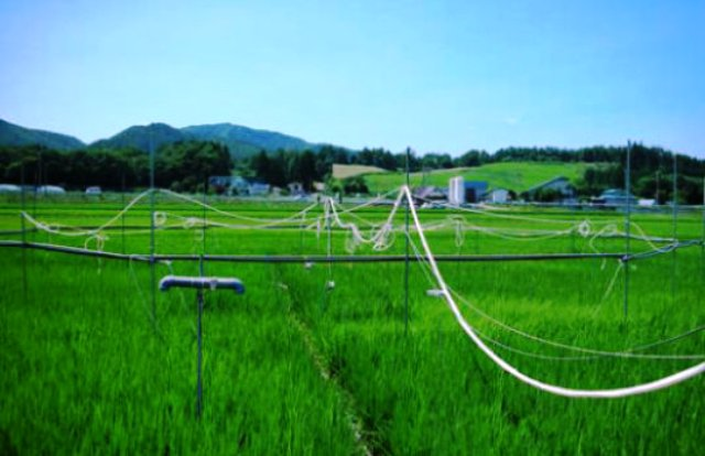 tanaman padi, jepang