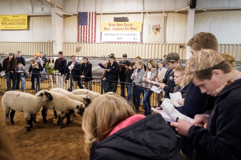 sheep in pen indoors with people taking notes