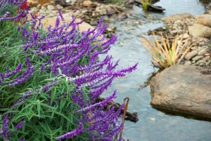Salvia leucantha beside stream in Marysville.