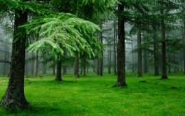 Spruce Trees Green Forest (click to view)