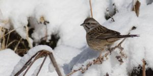 Godlewski's bunting is the latest addition to Bhutan's avian biodiversity to 719