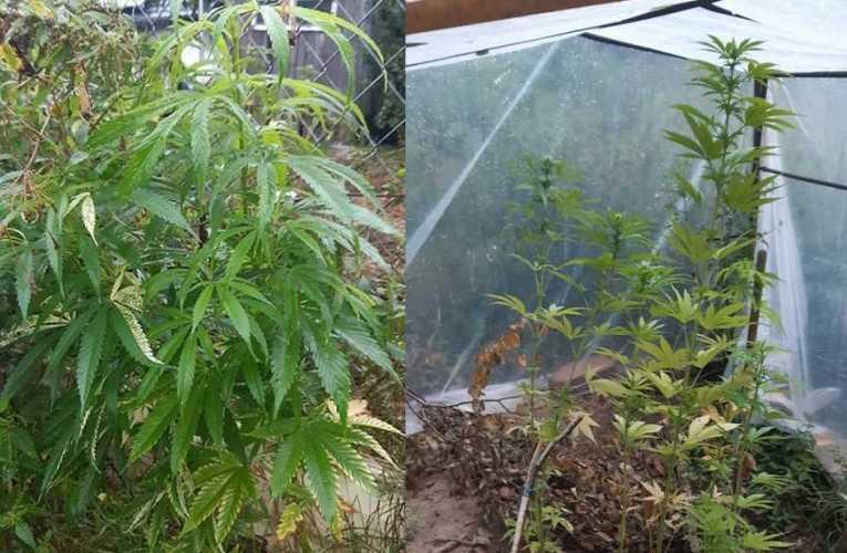 Zamiast pomidorów uprawiał marihuanę