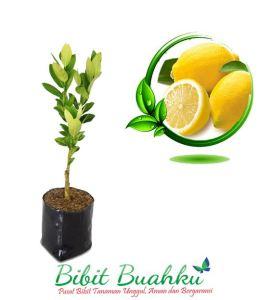 jual bibit lemon australi import
