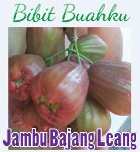 gambar buah Jambu Air Bajang Leang